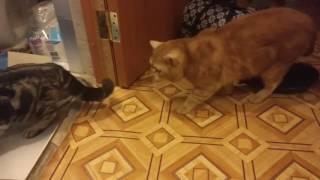 Принесли коту блин кошку))