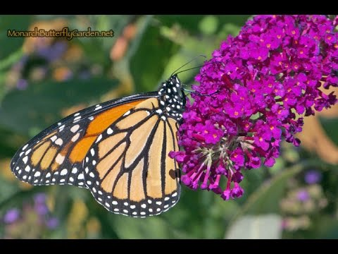 Migrating Monarchs find Buddleja Buzz Bliss