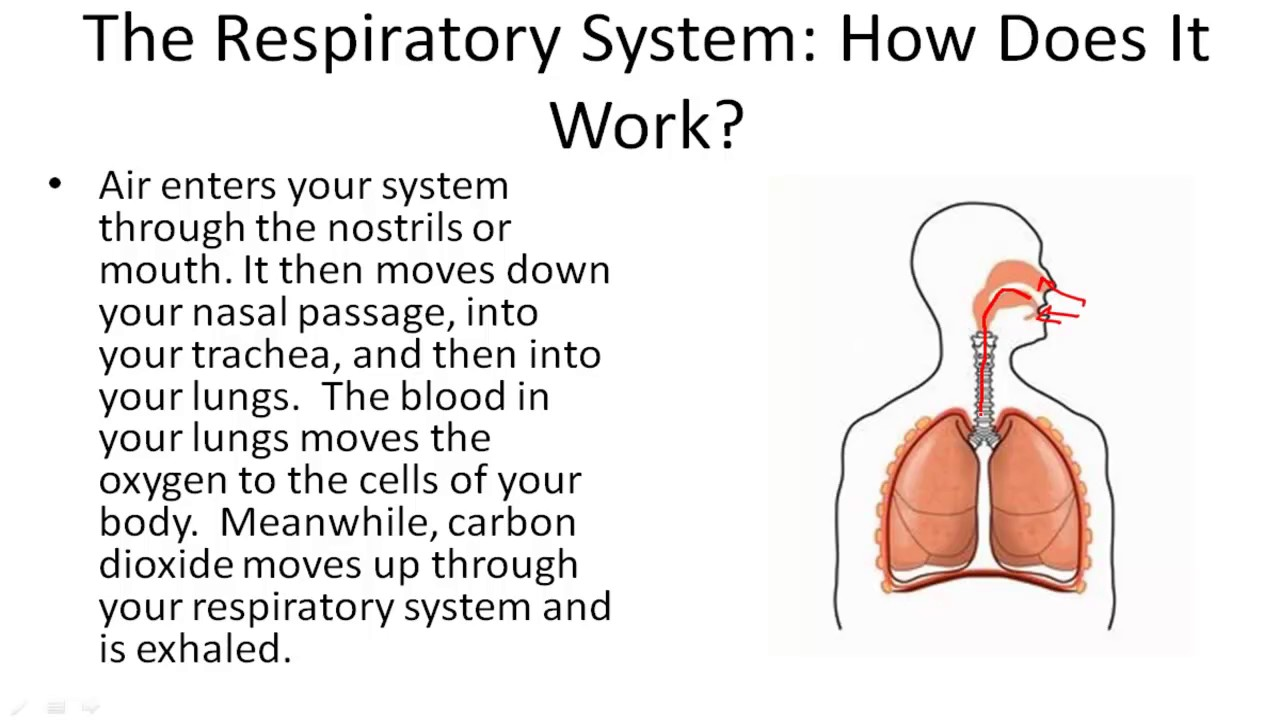 Understanding The Respiratory System Youtube
