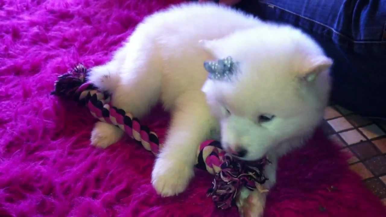 Woolly Coated Alaskan Malamute Puppy