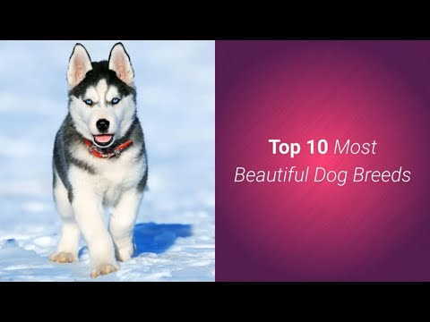list-of-top-10-most-beautiful-dog-breeds-in-the-world-🐶