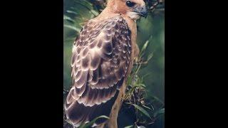 Elang Jawa (GARUDA INDONESIA)