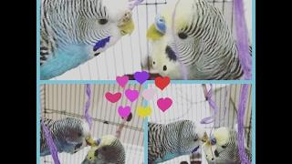 Yeğenlerim Zehra ve Zeynep Için Özel Muhabbet Kuşlu Video - SADECE MUHABBET KUŞU!!