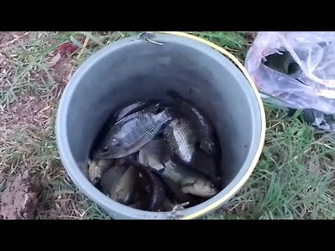 Mancing Ikan Betok Di Rawa Menggunakan Umpan Lumut 18/12/2017