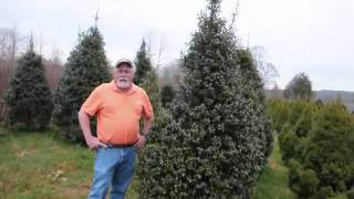 We Sell American Hollies and Other Evergreens