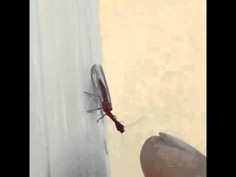 Snakefly Kungfu