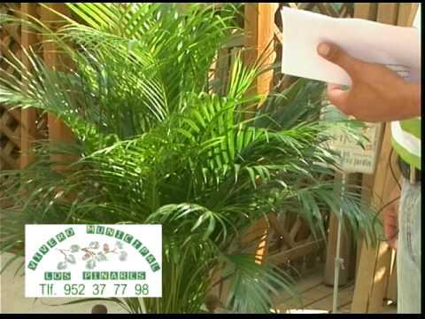 Palmeras para patios y balcones 3 parte de 3 youtube - Tipos de palmeras de interior ...