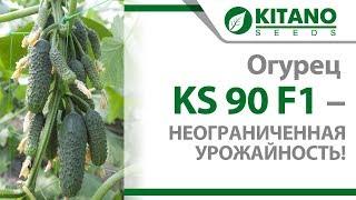 Огурец KS 90 F1 -  неограниченная урожайность!