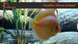 Discus.ie - Stendker Solid x Snake Skin size from 5 cm up to14 cm(