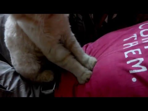 Persian Cat ( Tintin ) Body Massage
