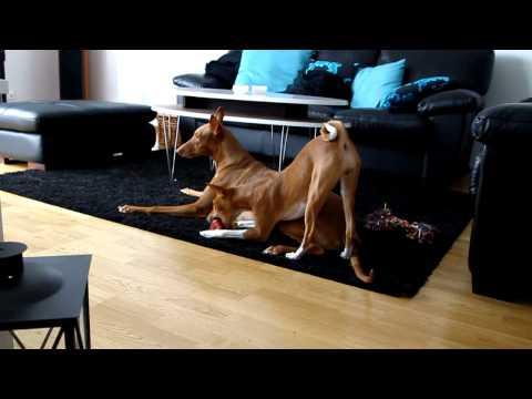 Basenji and Pharaoh Hound - playing or not?