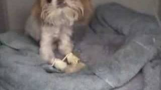 I Support Lonestar Shih Tzu And Lhasa Apso Rescue Part 1