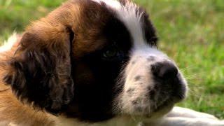 'Surprise, It's a Puppy!'  Bernese Mountain Dog or St. Bernard?