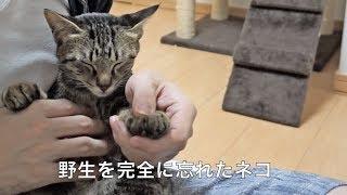 飼い主にされるがままのネコ。(20180122)【すず/コテツ】 thumbnail