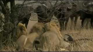 Nature - The White Lions.flv