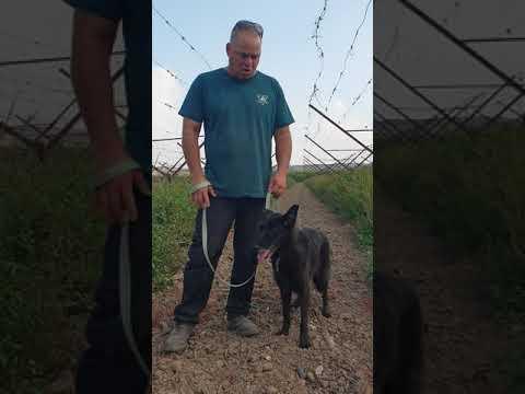 """""""ממבה"""" כלבה רועה בלגית"""