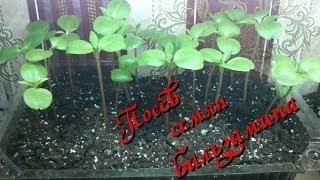Выращивание бальзамина: посев семян в домашних условиях