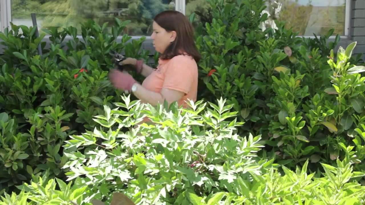 How To Prune An Overgrown Laurel Youtube