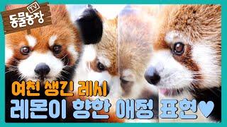 '레서 판다' 레시, 새 친구 레몬이를 향한 과격한 애정 표현♥ I TV동물농장 (Animal Farm) |…