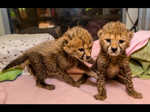 Baby Cheetah Sisters Spotted at the San Diego Zoo Safari Park