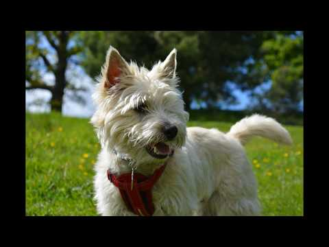 ***Potty Train your Cairn Terrier Puppy?*FREE Mini Course Here*WOW***