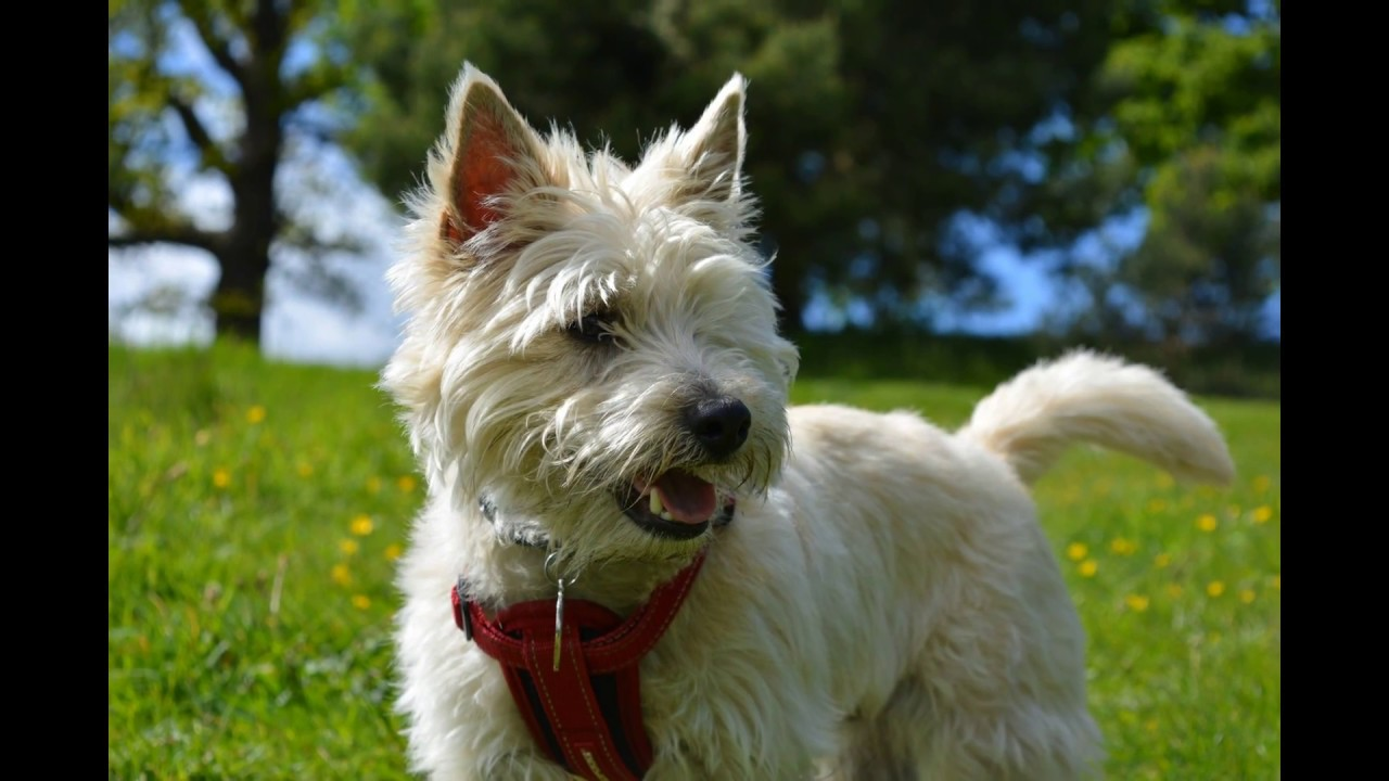 Potty Train your Cairn Terrier Puppy?*FREE Mini Course Here*WOW ... | Potty Training My Cairn Terrier Puppy