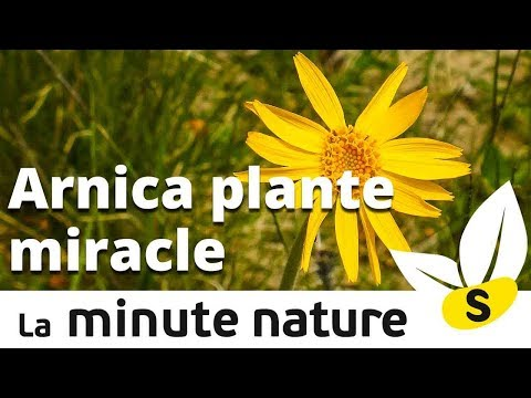 ARNICA PLANTE MIRACLE (No 106)
