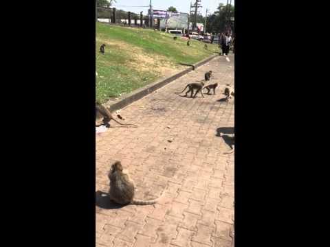City of monkeys Thailand 1