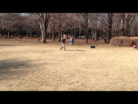 Dog heading a soccer ball {football} in Yoyogi park