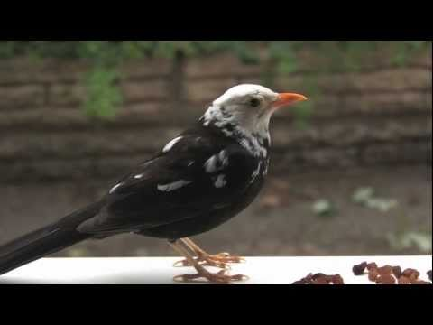 White-headed blackbird