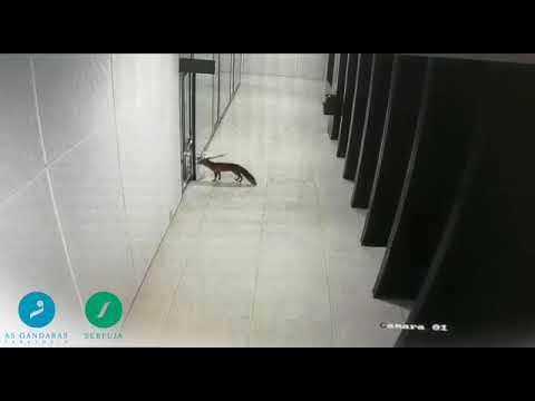Un zorro, de paseo por As Gándaras