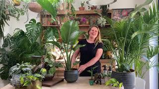 Strelitzia nicolai or white bird of paradise houseplant care tips from Happy Houseplants