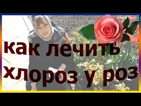 Хлороз. Как лечить хлороз у роз. Болезни роз. Подкормка розы.