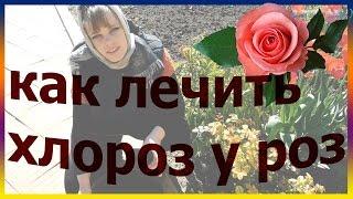 Почему у розы желтеют листья - причины и советы что делать (фото + видео)У розы желтеют листья — лечение и уход