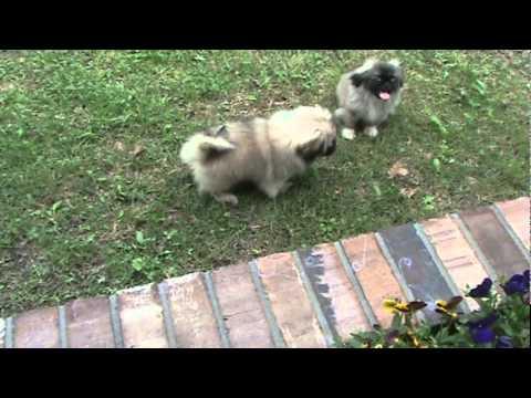 Pekingese Puppies For Akc Tiny