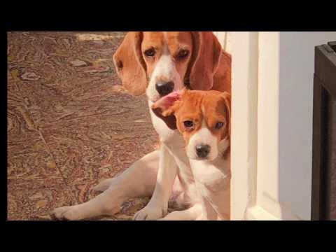 Dog video that will make your day better II Sun kissed Beagles II