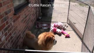 Little Rascals Uk Breeders New Litter Of Chow Chow X Samoyed Puppies