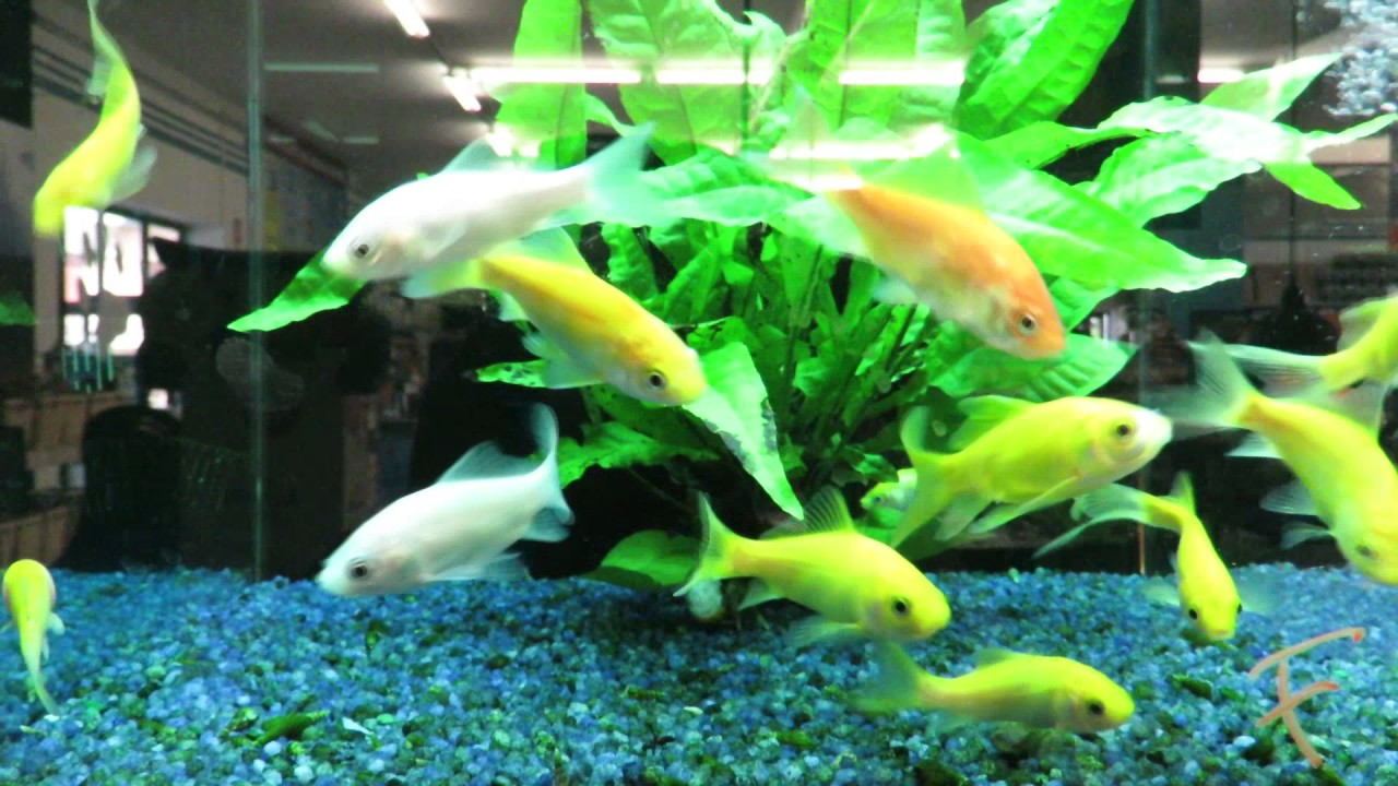 Pesci d 39 acqua fredda e tropicali youtube for Immagini pesciolini
