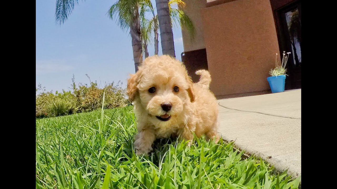 Amelia the Mini Goldendoodle & Solara the Cavapoo puppies available in  Southern California