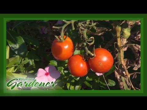 Urban Homesteading   Volunteer Gardener