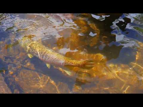 Monster Brown Trout On Chattooga River