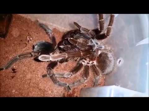 Phormictopus Cancerides Breeding #2