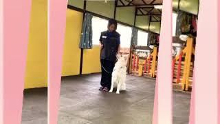 神奈川県伊勢原市にある犬の保育園FIELD Uの様子。ホワイトスイスシェパ...