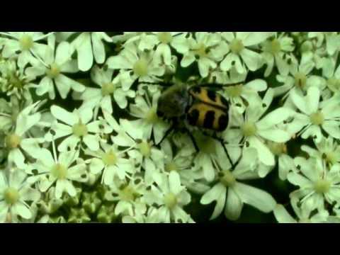 hqdefault - Longicornes