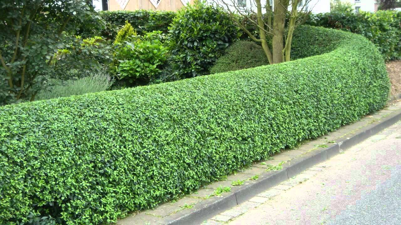 privet hedges for sale 1 89 each at tn online plant nursery youtube
