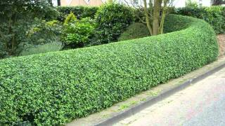 Privet Hedges For Sale $1.89 Each At Tn Online Plant Nursery