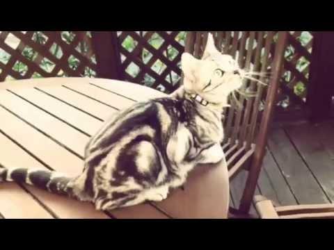 American Shorthair Cat Sweet & cute