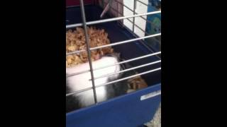 Potty Training Your Guinea Pig