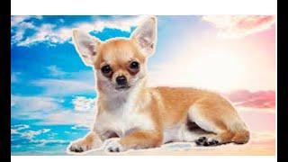 Пищевая аллергия у собаки .  Чихуахуа (исп. Chihuahua)  .