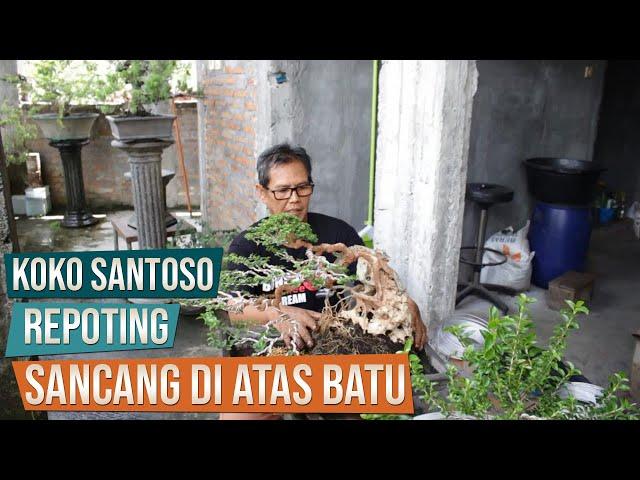 Repoting Bonsai Sancang Di Atas Batu Bersama Pak Koko Santoso